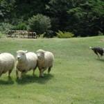 不眠症の羊は絶対に日本人を眠くさせてくれない